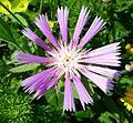 Centaurea pullata . Asteraceae - Flickr - gailhampshire.jpg