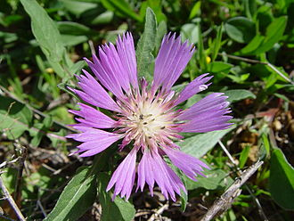 Centaurea - Centaurea pullata