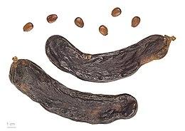 Ceratonia siliqua MHNT.BOT.2011.3.89.jpg