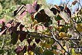 Cercis canadensis Forest Pansy 12zz.jpg
