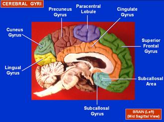 Precuneus - Image: Cerebral Gyri Medial Surface 1