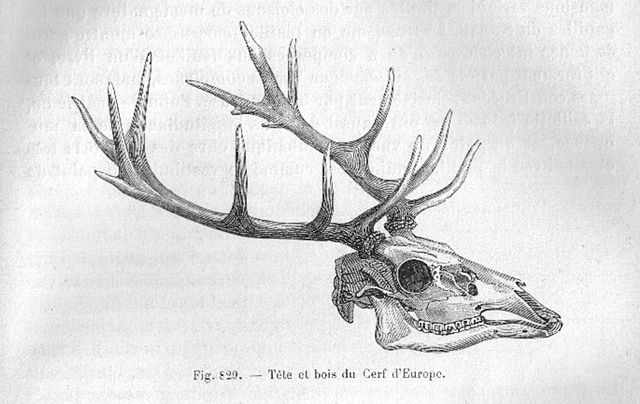 File wikimedia commons - Dessin bois de cerf ...