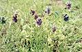 Cerinthe major v. purpurascens. Cape Trafalgar. Spain. 1975 (37725179632).jpg