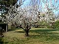 Cerisier en fleur 2007.JPG