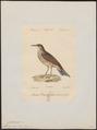 Certhilauda duponti - 1842-1848 - Print - Iconographia Zoologica - Special Collections University of Amsterdam - UBA01 IZ16100373.tif