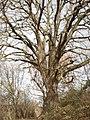 Chêne de Fontgirard.jpg