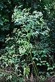 Chaerophyllum bulbosum 3.jpg