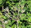 Chaerophyllum temulum fruit (01).jpg