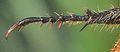 Chaetopteroplia segetum hind leg.JPG