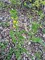 Chamaecytisus (Fabaceae) 01.jpg