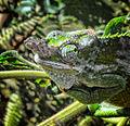 Chameleon, Tanzania (10164534243).jpg