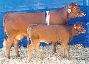 Gelbvieh - Champion Gelbvieh cow and Calf