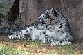 Chapultepec Zoo - Snow leopard.jpg