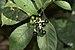 Chassalia curviflora on Kadavoor.jpg