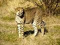Cheetah (6521897493).jpg