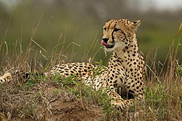 Cheetah (Acinonyx jubatus) female 2.jpg