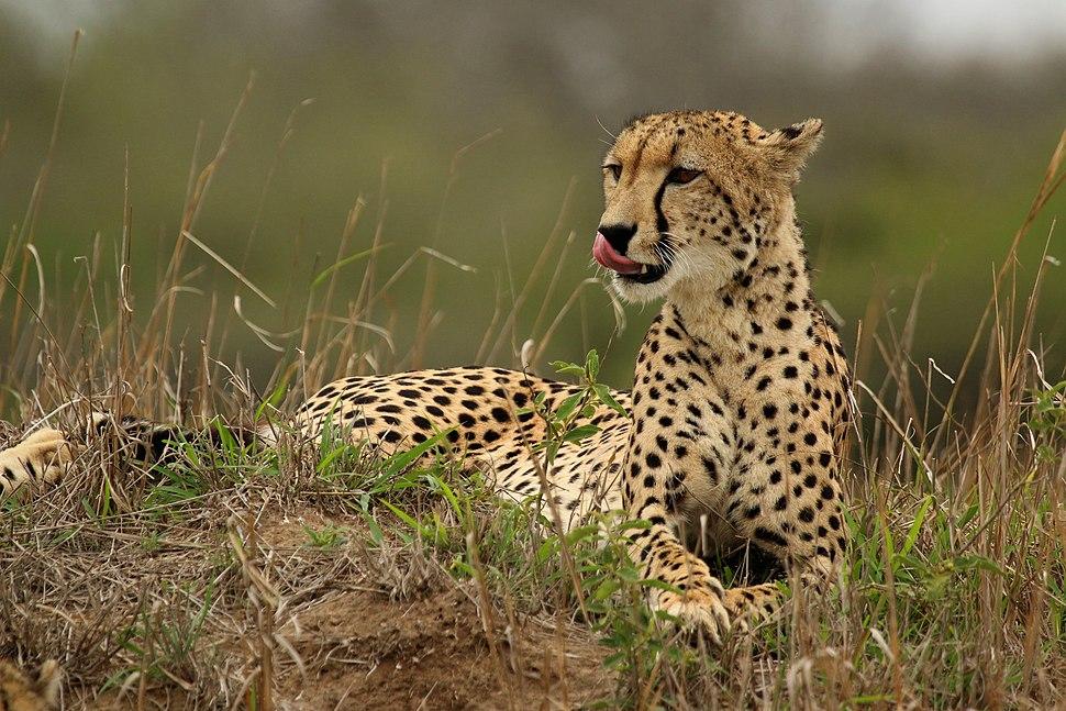 Cheetah (Acinonyx jubatus) female 2