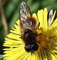 Cheilosia grossa (male) - Great Spring-cheilosia - Flickr - S. Rae.jpg