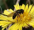 Cheilosia latifrons - urbana - psilophthalma (male) - Flickr - S. Rae (1).jpg