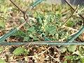 Chenopodium vulvaria sl99.jpg