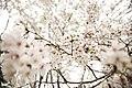 Cherry blossom, Japan; March 2013 (08).jpg