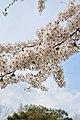 Cherry blossom near Zenpukuji river, Tokyo; March 2008 (26).jpg