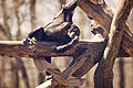 Chimp Relaxing on a Branch (17230464239).jpg