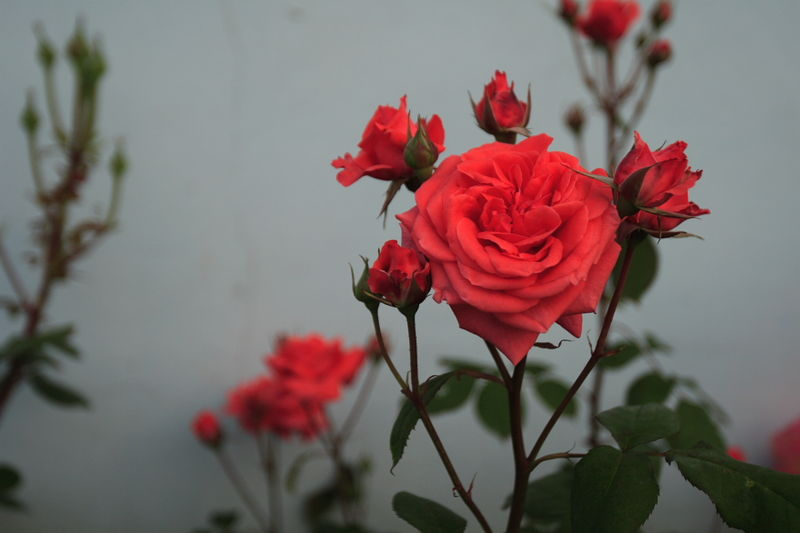 File:Chinese Rose.JPG