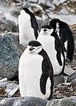 Chinstrap Penguins Half Moon Island Antarctica 2 (47284217932).jpg