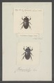 Chiroplatys - Print - Iconographia Zoologica - Special Collections University of Amsterdam - UBAINV0274 021 06 01 0018.tif