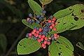 Chokeberry - Aronia arbutifolia, Suitland Bog Natural Area, Suitland, Maryland (37463437091).jpg