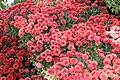 Chrysanthemum Camina 2zz.jpg