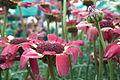 Chrysanthemum from lalbagh7267.JPG