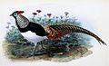 Chrysolophus amherstiae 1876.jpg