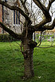 Church of the Holy Cross Felsted Essex England - churchyard tree at south.jpg