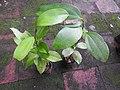Cinnamomum bejolghota-2-bsi-yercaud-salem-India.jpg