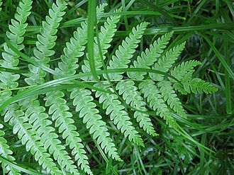 Phytogeography - The basic data element of phytogeography are specimen records. These are collected individual plants like this one, a Cinnamon Fern, collected in the Great Smoky Mountains of North Carolina.