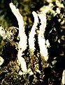 Cladonia macilenta var. bacillaris-1.jpg