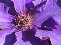 Clematis Blüte - panoramio.jpg