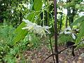 Clematis virginiana SCA-03931.jpg
