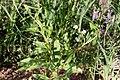 Cleome elegantissima-2496 - Flickr - Ragnhild & Neil Crawford.jpg
