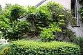 Climber Gibberd Garden Essex England - wisteria.JPG