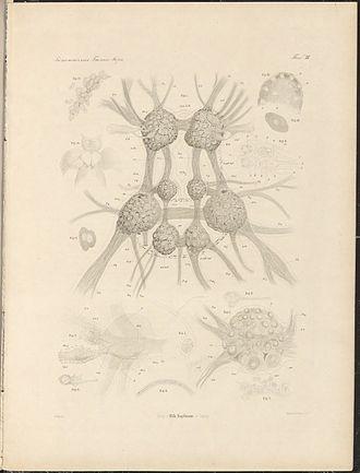 Нервная система морского ангела