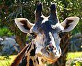 Close Encounter of the Giraffe Kind - Johari - Flickr - Rusty Clark.jpg