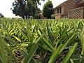 Closeup Grass Blades (29250762721).jpg