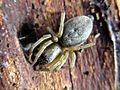 Clubiona spec. (Araneae sp.), Arnhem, the Netherlands.jpg