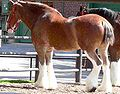 Clydesdale2.jpg