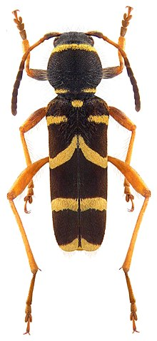 The wasp beetle Clytus arietis is one of many Batesian mimics of wasps. Clytus arietis (Linne, 1758) (3989861203).jpg