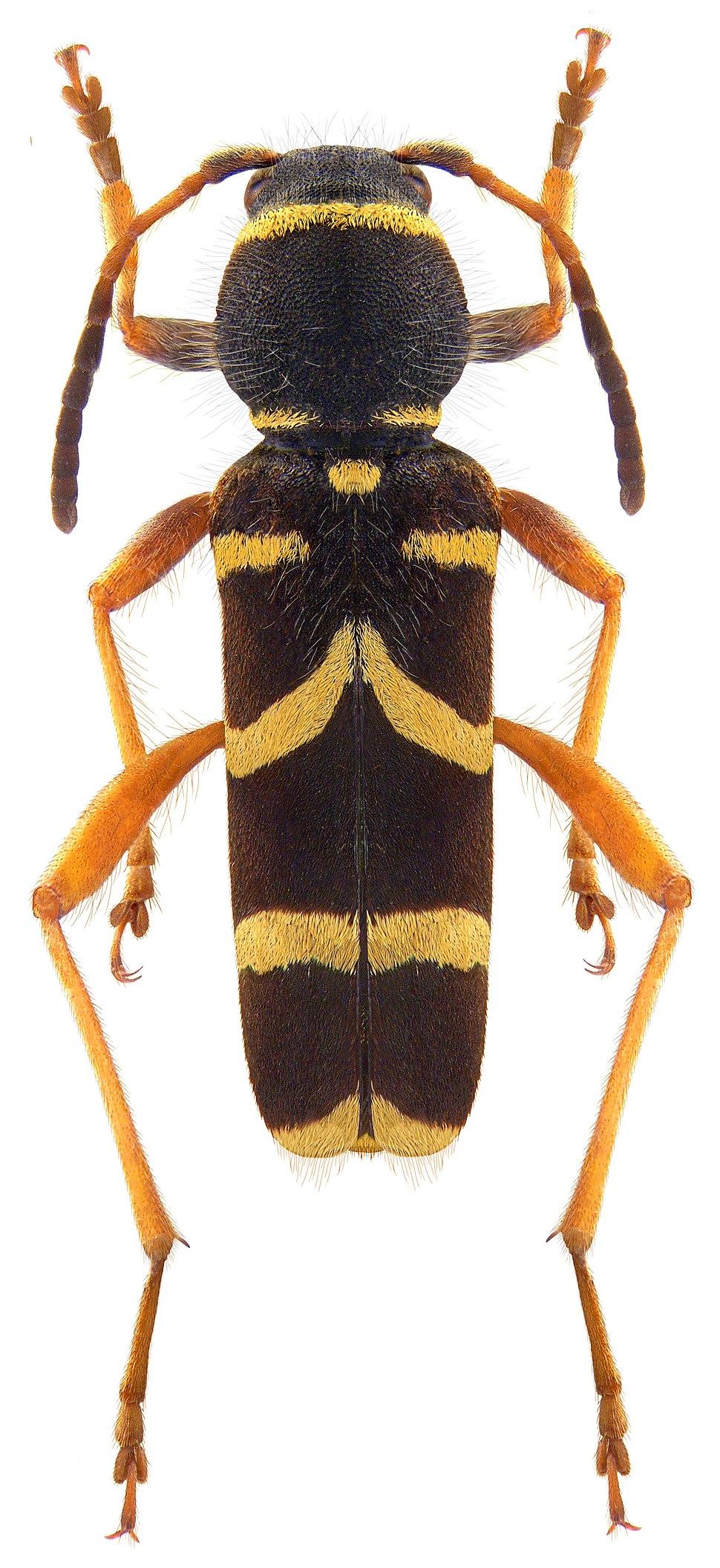 Clytus arietis (Linné, 1758) (3989861203)