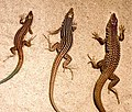 Cnemidophorus-ThreeSpecies.jpg